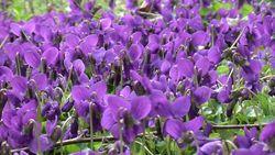 Violettes1-1024x576